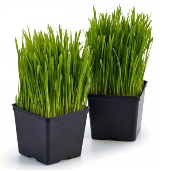 Pet Grass Self-Grow Kit By Jm Microgreens.