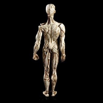 BolehDeals Removeable Resin Man Human Anatomy Skeleton Muscle ModelFull Body White - intl - 5
