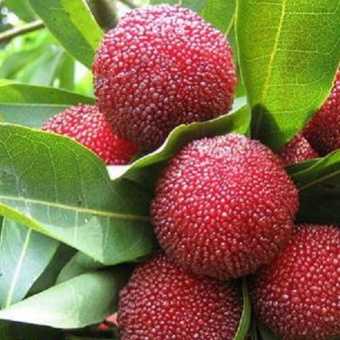 Sunshop 10Pcs Arbutus Tree Delicious Chinese Fruit Seeds For Healthy And Home Garden Easy Grow - intl