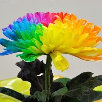 Elife 20Pcs Rainbow Chrysanthemum Seeds Rare Flowers Seed - intl - 3
