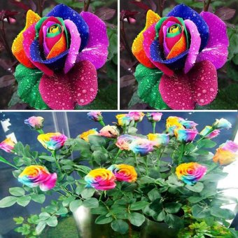 600pcs Colorful Rainbow Rose Flower Seeds Home Garden Plants Multi-Color - intl